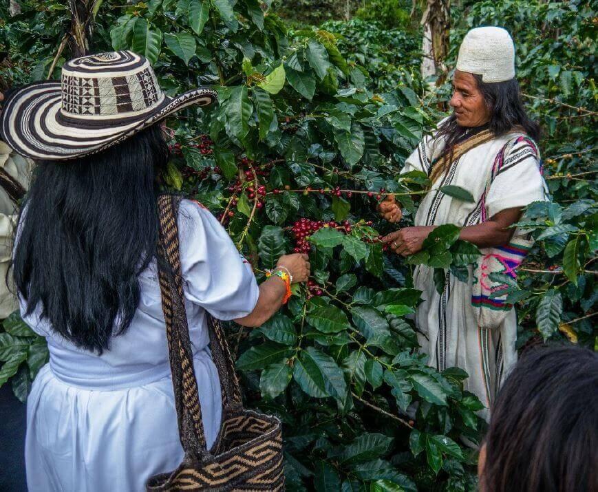 Die indigenen Völker praktizieren den Anbau von Bio-Kaffeebohnen im Einklang mit der Natur.